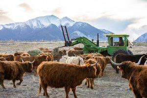 feeding-arrowpoint-cattle-company-grass-fed-highland-beef-locally-raised-regenerative-ranching-buena-vista-salida-nathrop-colorado-for-sale-25.CR2-5-Photo-Zach-Mahone