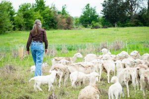 Regen-Ranch_christine-martin-sheep-1-600x400-1