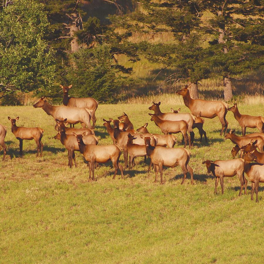 Livestock Grazing and Hunting to Change Elk Behavior